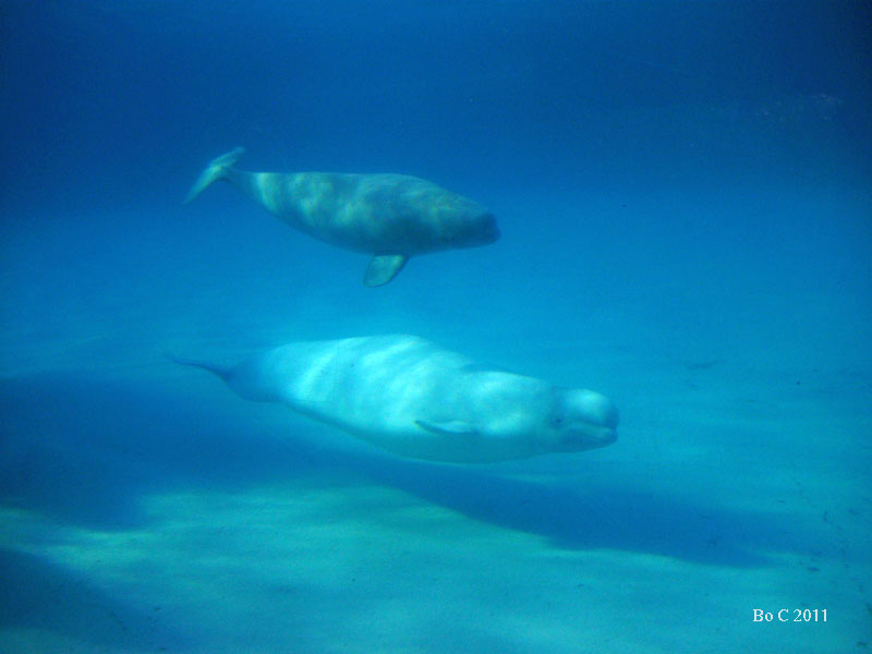 Baby Narwhal Whale All About Belugas | No...