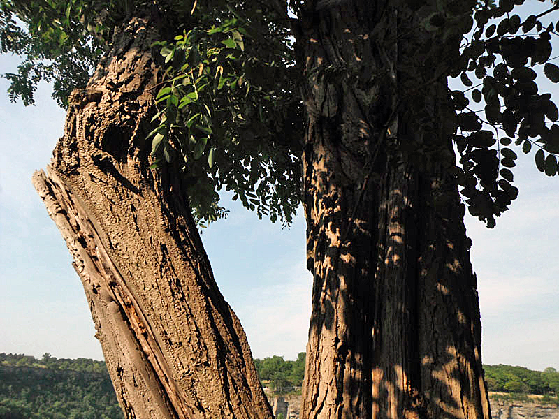 the sacred tree Sacred or symbolic trees include the banyan and the sacred fig (ficus religiosa) in hinduism, buddhism and jainism, the tree of the knowledge of good and evil of judaism and christianity in folk religion and folklore , trees are often said to be the homes of tree spirits.