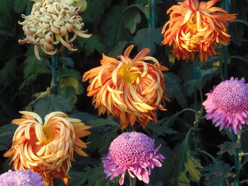 the chrysanthemums