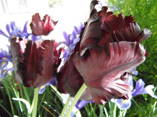 Enchanted Tulips (10)