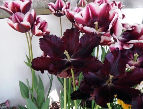 Enchanted Tulips (11)