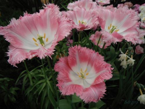 Enchanted Tulips (13)