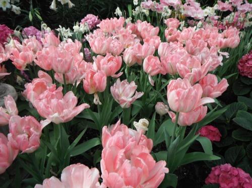 Enchanted Tulips (14)