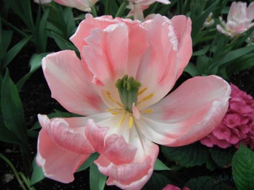 Enchanted Tulips (15)