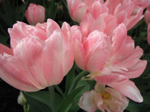 Enchanted Tulips (16)