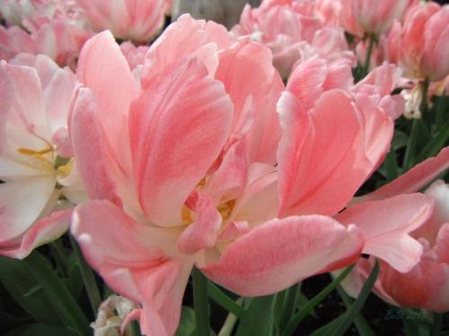Enchanted Tulips (18)