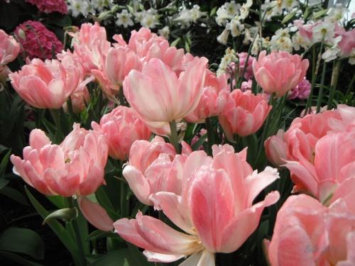 Enchanted Tulips (19)