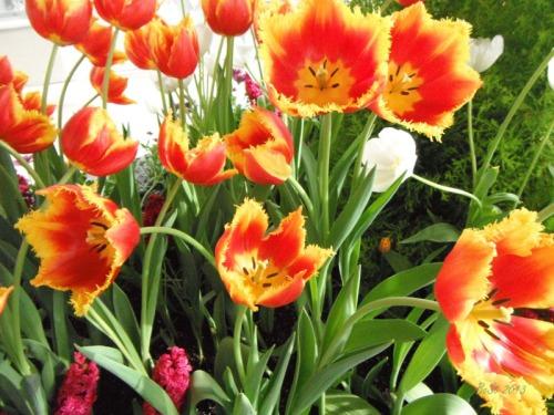 Enchanted Tulips (20)