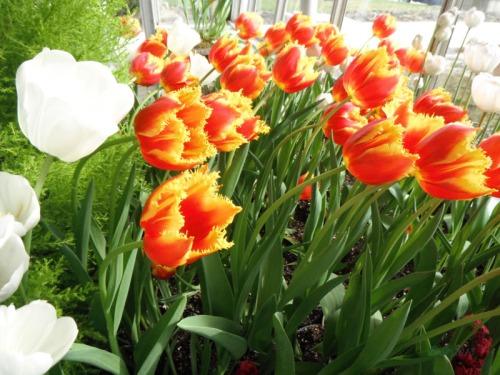 Enchanted Tulips (21)