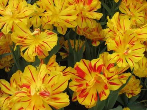 Enchanted Tulips (23)