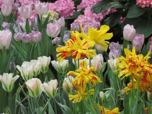 Enchanted Tulips (25)