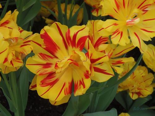 Enchanted Tulips (28)