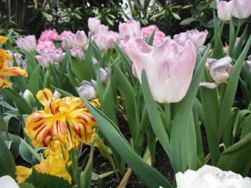 Enchanted Tulips (6)