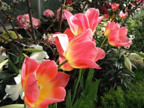 Enchanted Tulips (7)