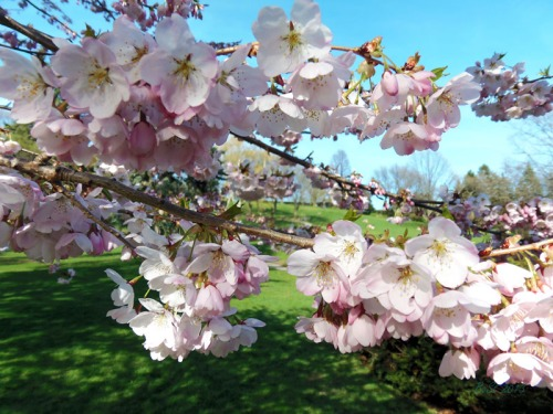 Cherry blossoms 2013 (1)