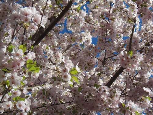 Cherry blossoms 2013 (11)