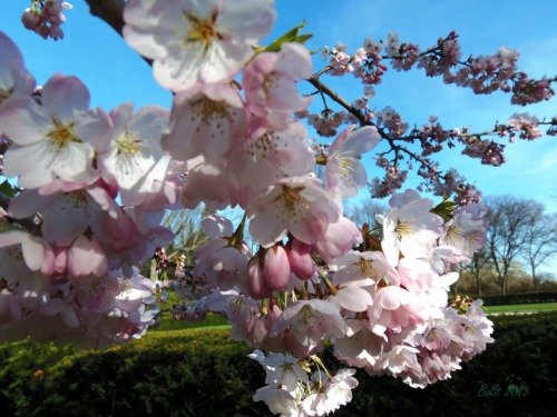 Cherry blossoms 2013 (13)