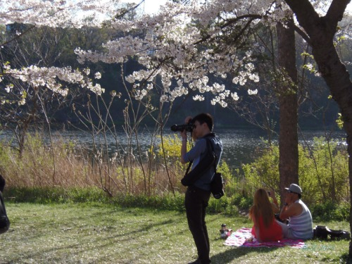 Cherry blossoms 2013 (15)