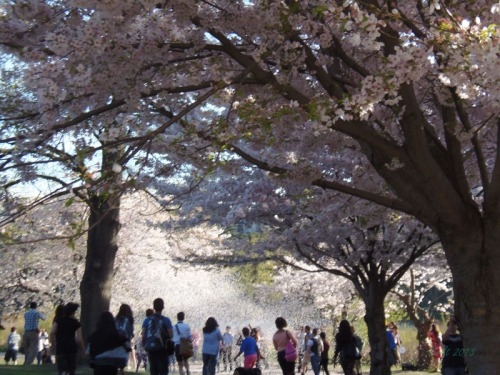 Cherry blossoms 2013 (20)