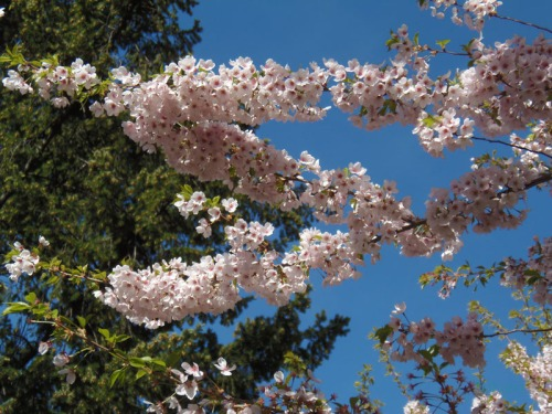 Cherry blossoms 2013 (29)