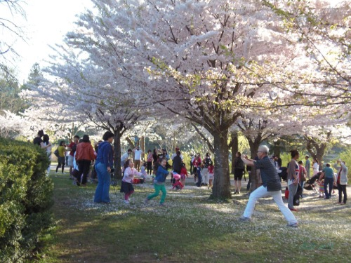 Cherry blossoms 2013 (30)
