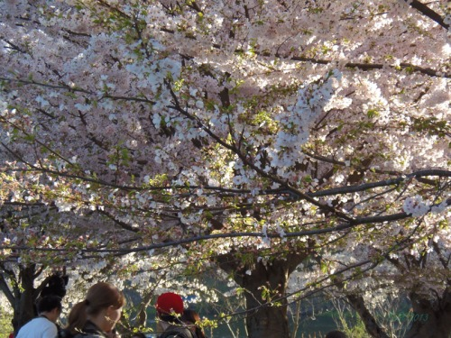 Cherry blossoms 2013 (32)