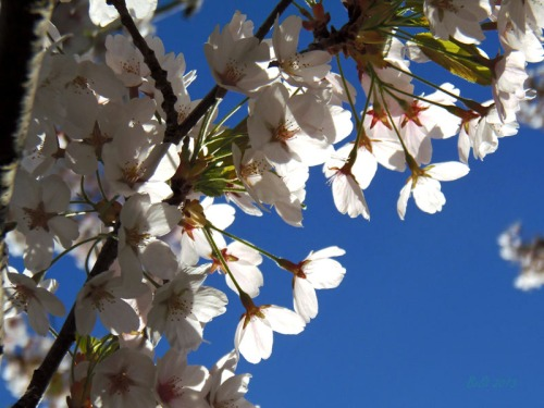 Cherry blossoms 2013 (34)