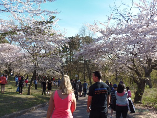 Cherry blossoms 2013 (35)