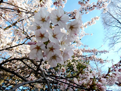 Cherry blossoms 2013 (37)