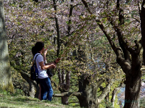 Cherry blossoms 2013 (38)