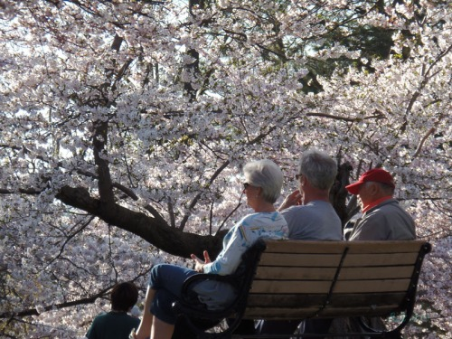 Cherry blossoms 2013 (39)