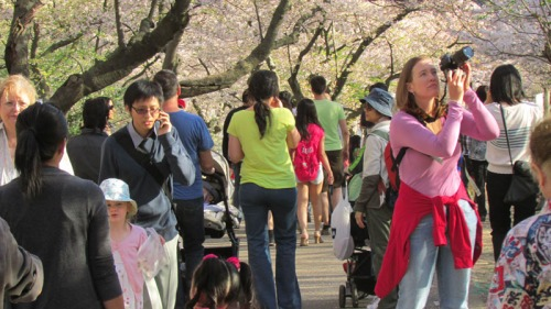 Cherry blossoms 2013 (4)