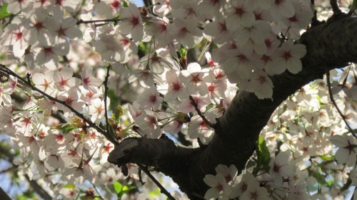 Cherry blossoms 2013 (5)