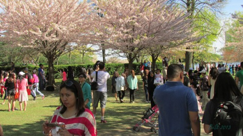 Cherry blossoms 2013 (6)