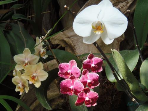 Orchids 2013 (10)
