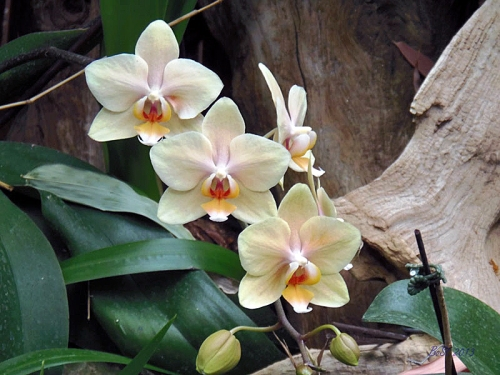 Orchids 2013 (14)