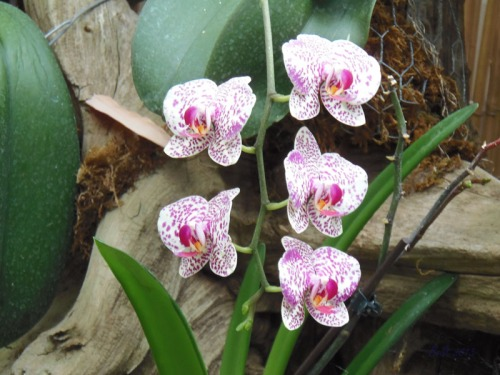 Orchids 2013 (17)