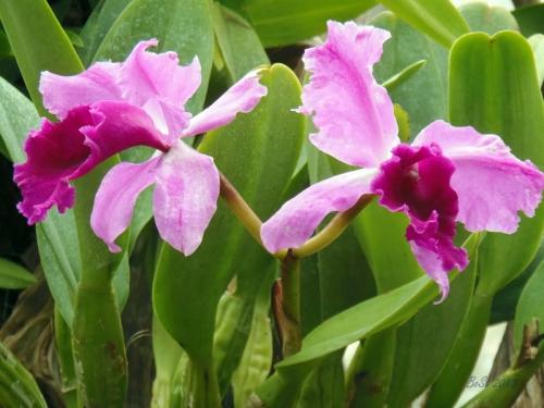 Orchids 2013 (18) Holcoglossum kimballianum