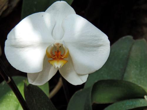 Orchids 2013 (1a)