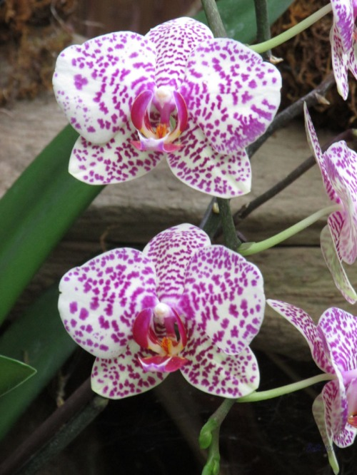 Orchids 2013 (2)