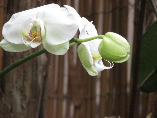 Orchids 2013 (3) Phalaenopsis Hybrid