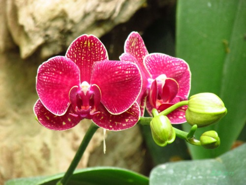 Orchids 2013 (5)