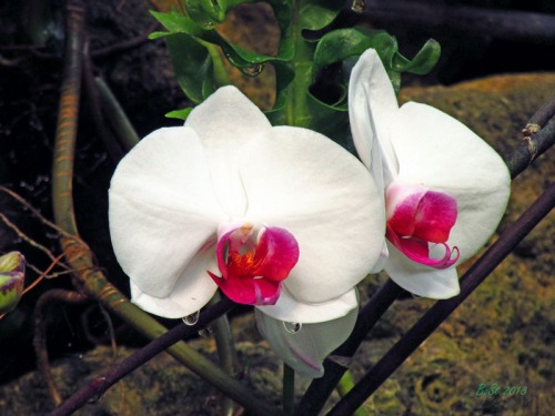 Orchids 2013 (6)