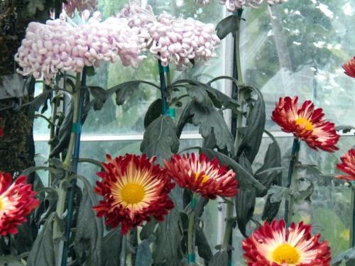 Chrsanthemum 2013 (15)