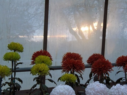 Chrsanthemum 2013 (19)