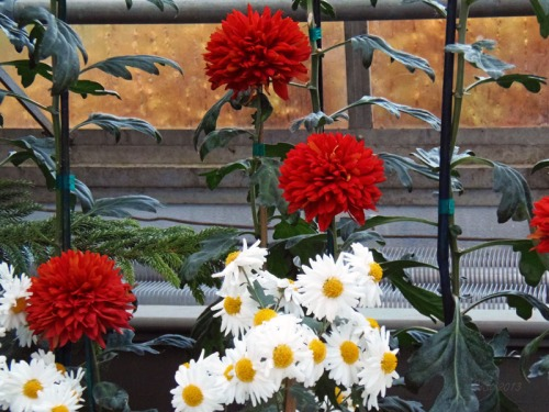 Chrsanthemum 2013 (24)