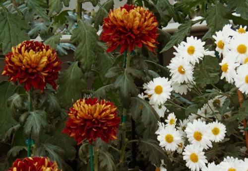 Chrsanthemum 2013 (27)