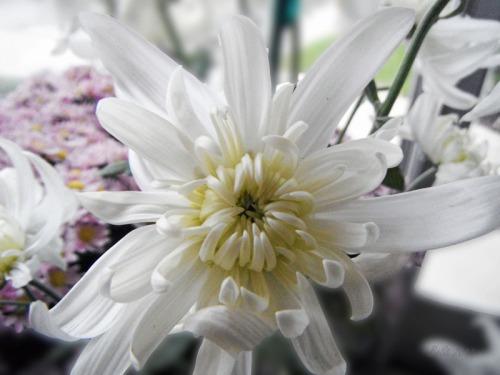 Chrsanthemum 2013 (3)