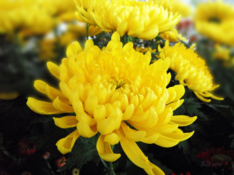 The Yellow Chrysanthemum | Notable Inklings Yellow Chrysanthemum Flower