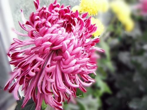 Chrsanthemum 2013 (5)
